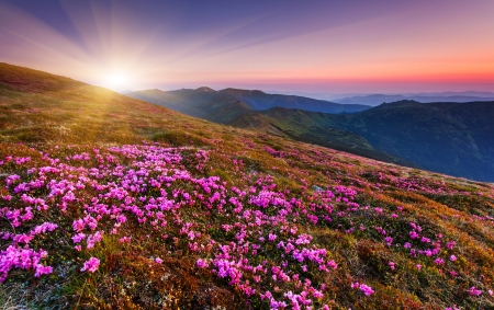 Photo pour Magic pink rhododendron flowers on summer mountain.Carpathian, Ukraine. - image libre de droit