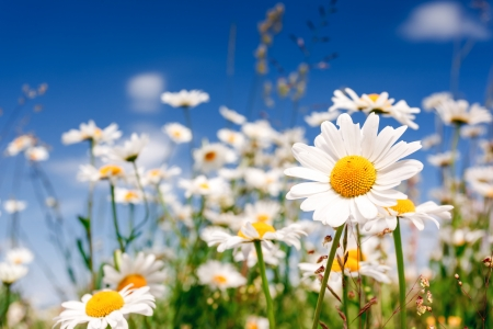 Foto de Summer field with white daisies on blue sky. Ukraine, Europe. Beauty world. - Imagen libre de derechos