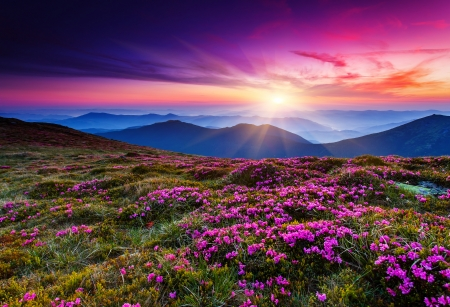 Foto de Magic pink rhododendron flowers on summer mountain.Carpathian, Ukraine. - Imagen libre de derechos