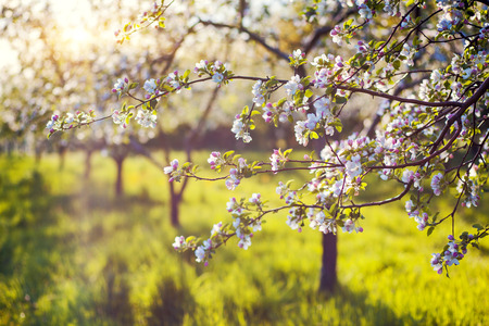 Photo pour Blossoming apple orchard in spring. Ukraine, Europe. Beauty world. - image libre de droit