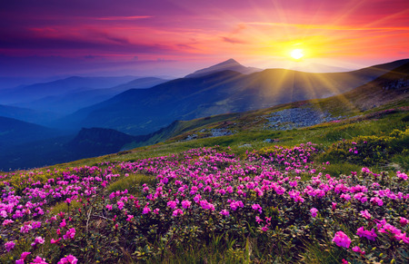Magic pink rhododendron flowers on summer mountain