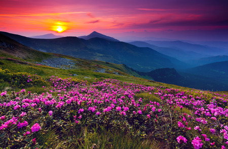 Photo pour Magic pink rhododendron flowers on summer mountain - image libre de droit