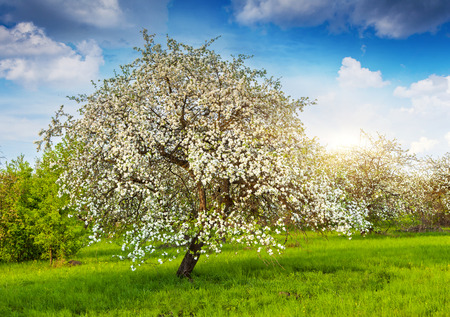 Foto de Blooming apple trees at spring - Imagen libre de derechos