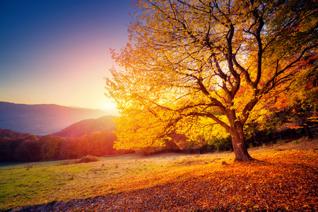 Photo for Majestic alone beech tree on a hill slope with sunny beams at mountain valley. Dramatic colorful morning scene. Red and yellow autumn leaves. Carpathians, Ukraine, Europe. Beauty world. - Royalty Free Image