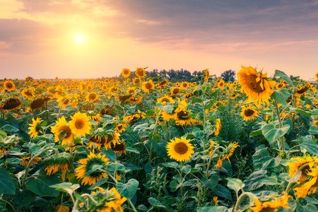 Photo pour Majestic view of sunflower field glowing by sunlight. Dramatic morning scene in Ukraine - image libre de droit