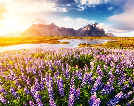Foto de Great  view of  lupine flowers glowing by sunlight. Majestic and gorgeous scene. Location famous place Stokksnes cape, Vestrahorn (Batman Mountain), Iceland, Europe. Artistic picture. Beauty world. - Imagen libre de derechos