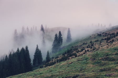 Photo for Morning fog covered the hills with spruces. Dramatic and gorgeous scene. Location Carpathian, Ukraine, Europe. Cross process filter, retro and vintage style. - Royalty Free Image