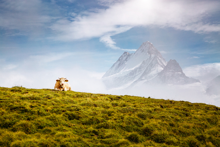Photo pour Cows relax on alpine hills in sun beams. Picturesque and gorgeous day scene. Location place Berner Oberland, Grindelwald, Switzerland. - image libre de droit