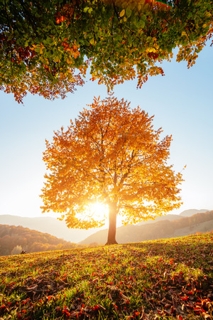 Photo pour Shiny beech tree on a hill slope with sunny beams at mountain valley. Dramatic morning scene. Red and yellow autumn leaves. Location place Carpathians, Ukraine, Europe. - image libre de droit