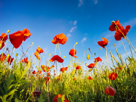 Photo pour Blooming red poppies on field against the sun, blue sky. Wild flowers in springtime. Dramatic day and gorgeous scene. Wonderful image of wallpaper. Explore the world's beauty. Artistic picture. - image libre de droit