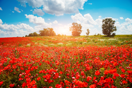 Photo pour Blooming poppies on field with white fluffy clouds. Wild flowers in springtime. Nice day and gorgeous scene. Wonderful wallpaper. Location rural place of Ukraine, Europe. Explore the world's beauty. - image libre de droit