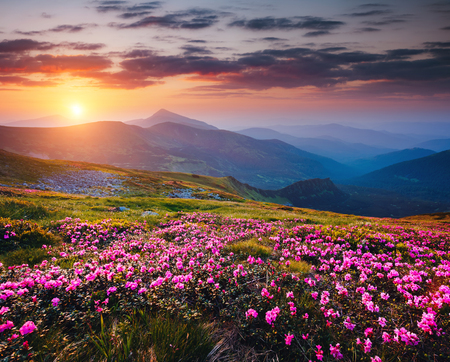 Photo pour The magic rhododendron blossoms in the springtime. Location Carpathian national park, Ukraine, Europe. Great picture of wild area. Scenic image of hiking concept. Explore the beauty of earth. - image libre de droit