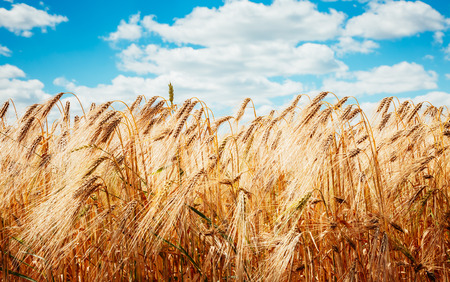 Foto de Plantation ripe wheat glows in the sunlight. A wonderful day in summertime. Location rural place of Ukraine, Europe. Ecological production of natural products. Explore the world's beauty. - Imagen libre de derechos