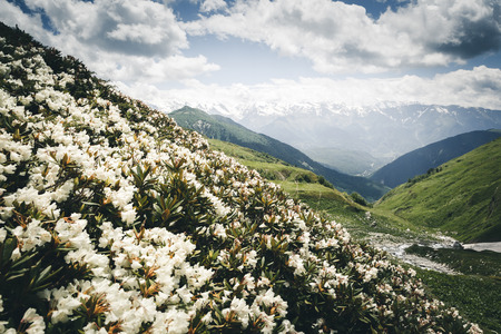 Photo pour Alpine meadows with rhododendron flowers at the foot of Mt. Ushba. Location Upper Svaneti, Georgia country, Europe. The main Caucasian ridge. Scenic image of wild area. Explore the beauty of earth. - image libre de droit