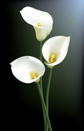 Illustration for Three calla lilies isolated on a dark background. - Royalty Free Image