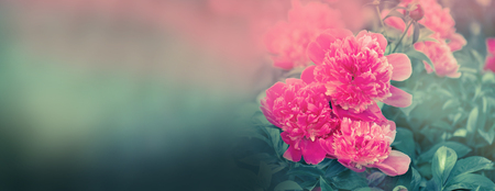 Photo for Beautiful flowers peonies. Closeup of beautiful pink peonie flower banner. - Royalty Free Image