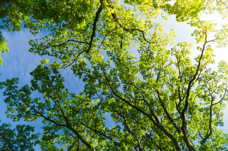 Photo for Oak tree crown from below against blue sky with sunflare - Royalty Free Image