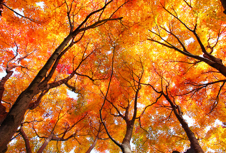Photo for Maple tree in autumn - Royalty Free Image