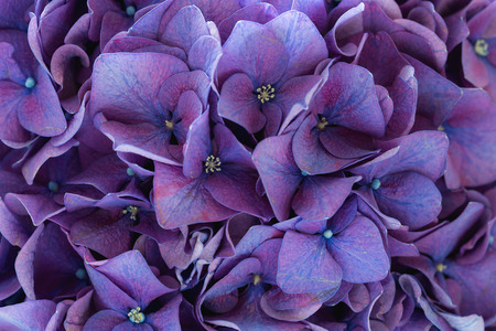 Photo pour Purple hydrangea - image libre de droit