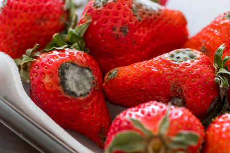 Foto de Gray mold on red ripe fresh strawberries - Imagen libre de derechos