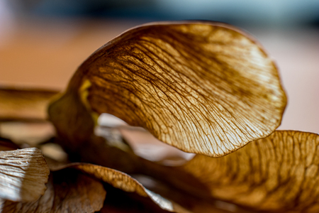 Photo pour Macro close up, studio flash light picture, of a dry maple seed, autumn feelings. Detailed wing structure with stunning natural nerves, selective focus with shallow depth of field - image libre de droit