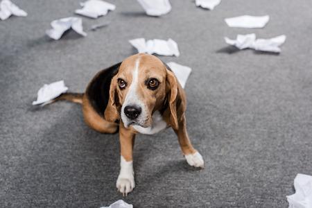 Photo pour beagle dog with torn paper sitting on floor at home - image libre de droit