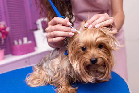 Photo pour professional groomer in apron cleaning ears of cute small furry dog - image libre de droit