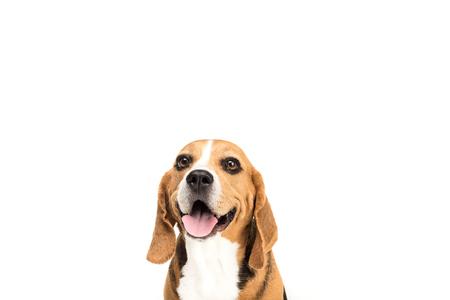 Photo pour portrait of cute furry beagle dog - image libre de droit