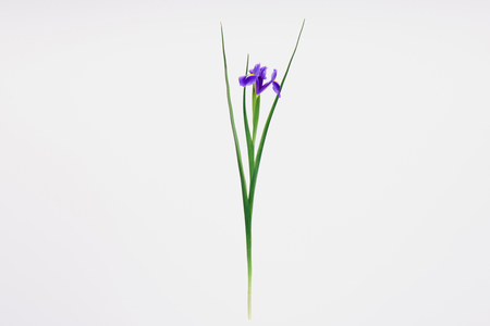 Photo pour beautiful blooming iris flower isolated on white  - image libre de droit
