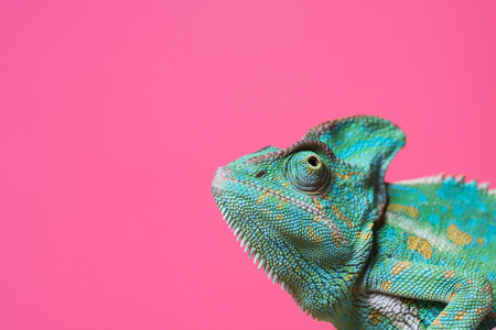 Photo pour close-up view of cute colorful exotic chameleon isolated on pink - image libre de droit