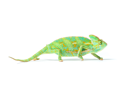 Photo pour close-up view of colorful tropical chameleon isolated on white     - image libre de droit