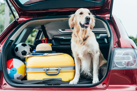 Photo pour cute golden retriever dog sitting in car trunk with luggage for trip - image libre de droit