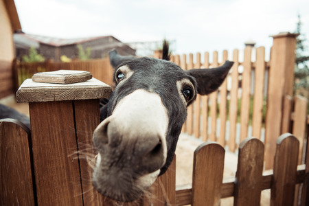 Foto de close up view of little donkey looking at camera in zoo - Imagen libre de derechos