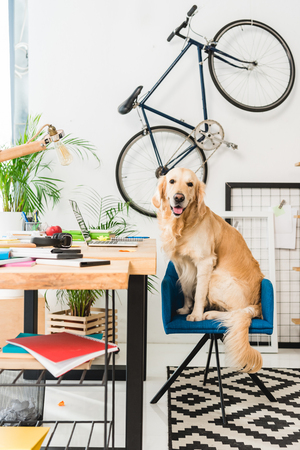 Foto de funny dog sitting on blue chair at home and looking at camera - Imagen libre de derechos