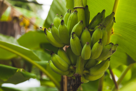 Photo pour branch of fresh bananas growing on tree - image libre de droit