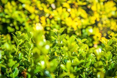 Foto de close up view of boxwood bushes with green foliage and sunlight background - Imagen libre de derechos