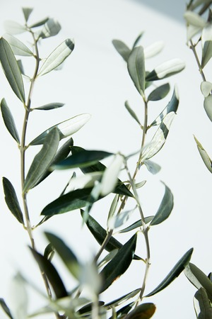 Photo for close up view of leaves of olive branches in front of white wall - Royalty Free Image