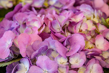 Photo for close up view of beautiful purple hortensia flowers - Royalty Free Image