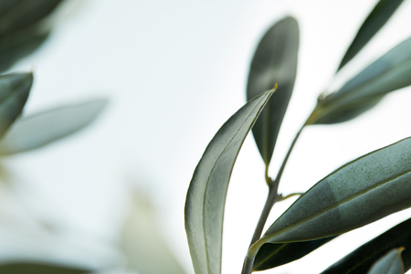Photo for close up view of leaves of olive branch on blurred background - Royalty Free Image