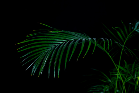 Photo for green palm leaves, isolated on black - Royalty Free Image
