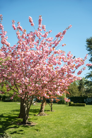 Photo pour cherry blossom trees on green lawn in park of Copenhagen, Denmark - image libre de droit