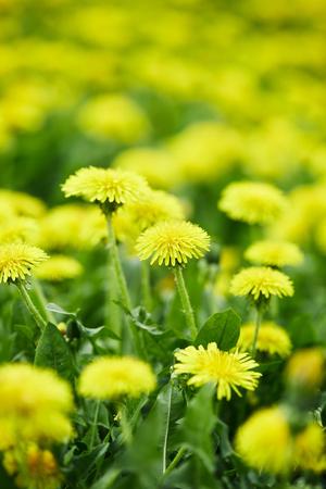 Photo pour close-up shot of yellow dandelion flowers on meadow - image libre de droit
