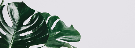 Photo pour close-up shot of green monstera leaves isolated on white - image libre de droit