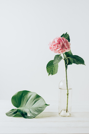 Photo for pink hydrangea flower in vase and green monstera leaf near, on white - Royalty Free Image