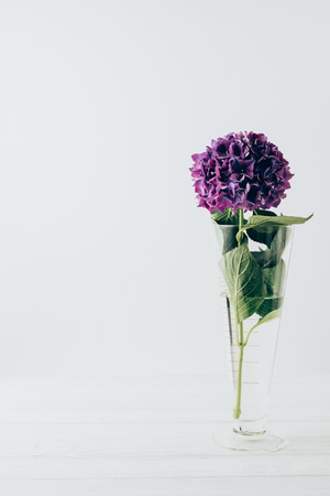 Photo for purple hydrangea flower in glass vase, on white - Royalty Free Image