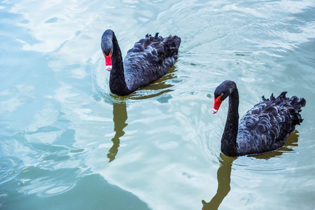Foto de high angle view of couple of black swans swimming in blue pond together - Imagen libre de derechos