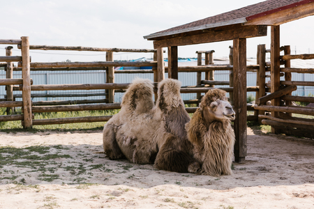 Foto de front view of two humped camel sitting on ground in corral at zoo - Imagen libre de derechos