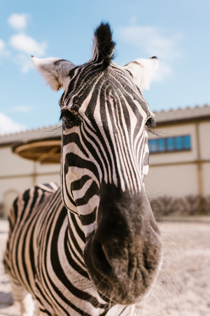 Foto de close up view of zebra muzzle on blurred background at zoo - Imagen libre de derechos