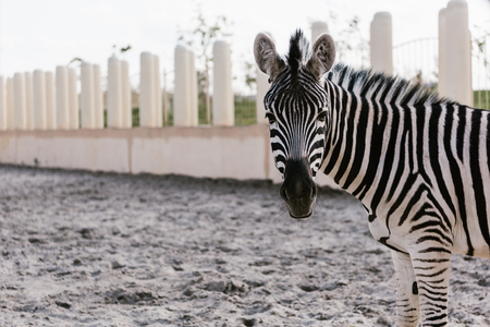 Foto de close up shot of zebra grazing on ground in corral at zoo - Imagen libre de derechos