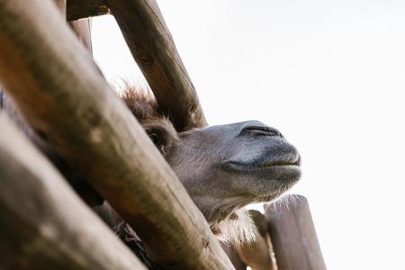 Foto de low angle view of camel muzzle near wooden fence at zoo - Imagen libre de derechos